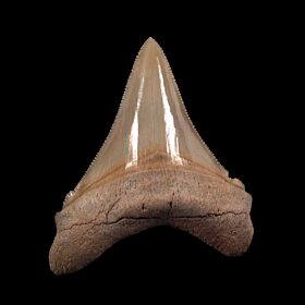 Extra large Angustidens tooth for sale | Buried Treasure Fossils