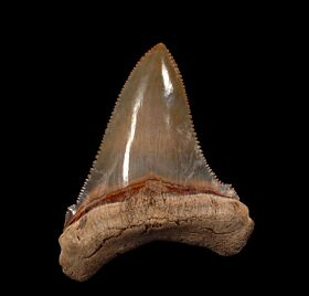 Extra large SC Angustidens tooth for sale | Buried Treasure Fossils