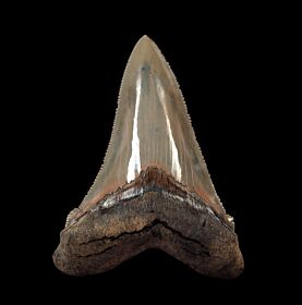 Extra large SC Angustidens tooth for sale | Buried Treasure Fos
