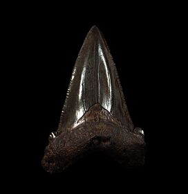Black Angustidens tooth for sale | Buried Treasure Fossils