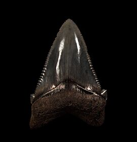 Top Quality SC Angustidens tooth for sale | Buried Treasure Fossils