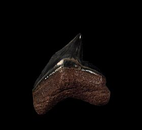 Extra Large So. Carolina Tiger shark tooth for sale | Buried Treasure Fossils