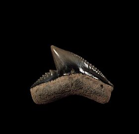 Quality Tiger shark tooth for sale | Buried Treasure Fossils