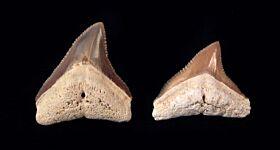 Carcharhinus obscurus