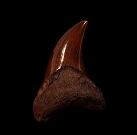 Extra Large Parotodus benedeni tooth for sale | Buried Treasure Fossils