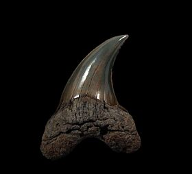 Wando River Parotodus benedeni tooth for sale | Buried Treasure Fossils