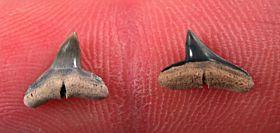 Oligocene Sphyrna arambourgi tooth for sale from So. Carolina | Buried Treasure Fossils