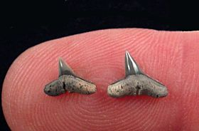 Sphyrna lewini shark tooth for sale | Buried Treasure Fossils