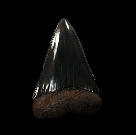 Big SC Great White shark tooth for sale with bite marks | Buried Treasure Fossils