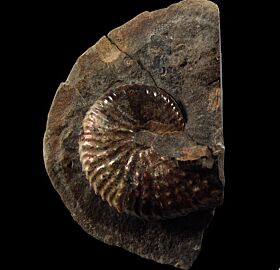 Hoploscaphites Ammonite for sale | Buried Treasure Fossils