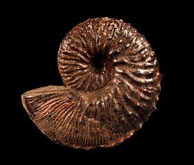 Hoploscaphites nebrascensis for sale | Buried Treasure Fossils