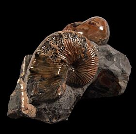 South Dakota Hoploscaphites for sale | Buried Treasure Fossils