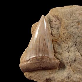 Extra Large STH Isurus hastalis shark tooth for sale   Buried Treasure Fossils
