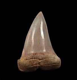 Big Sharktooth Hill Mako shark tooth for sale | Buried Treasure Fossils
