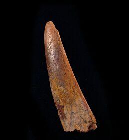 Heterodontus sp.