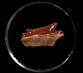 Echinorhinus blakei