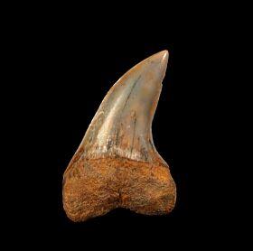 Big Sharktooth Hill Isurus planus tooth for sale | Buried Treasure Fossils
