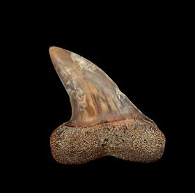 Fire Zone Sharktooth Hill Isurus planus tooth for sale | Buried Treasure Fossils