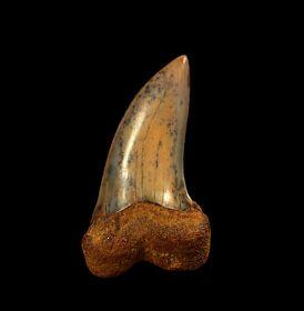 Sharktooth Hill Isurus planus tooth for sale | Buried Treasure Fossils