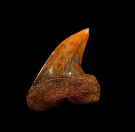 Sharktooth Hill Fire Zone Mako tooth for sale | Buried Treasure Fossils