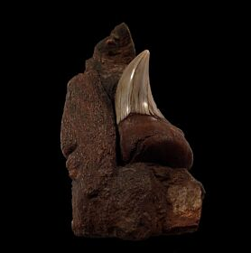 Real Sharktooth Hill Parotodus benedeni tooth for sale | Buried Treasure Fossils