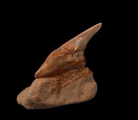 Bakersfield Parotodus benedeni tooth for sale | Buried Treasure Fossils