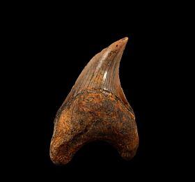 Bakersfield Parotodus benedeni tooth for sale | Buried Treasure Fossils