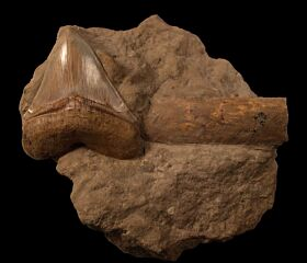 Sharktooth Hill Megalodon tooth for sale | Buried Treasure Fossils