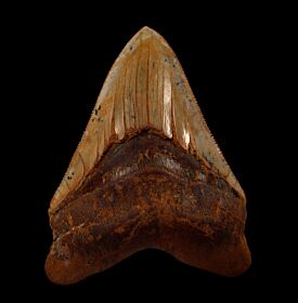 Bakersfield Megalodon tooth for sale | Buried Treasure Fossils