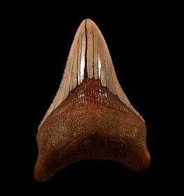 Real Sharktooth Hill Megalodon tooth for sale | Buried Treasure Fossils
