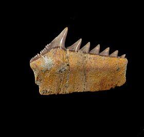 Hexanchus andersoni