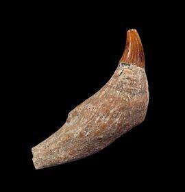 Prosqualodon errabundus