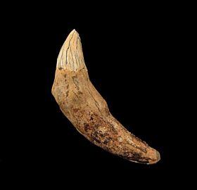 Prosqualodon errabundus tooth for sale | Buried Treasure Fossils