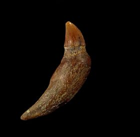 Rare Bakersfield Prosqualodon dolphin tooth for sale | Buried Treasure Fossils