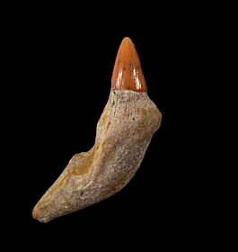 Real Bakersfield Prosqualodon tooth for sale | Buried Treasure Fossils
