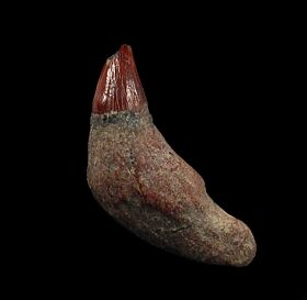 Rare Sharktooth Hill Prosqualodon tooth for sale | Buried Treasure Fossils