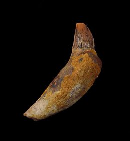 Rare California Prosqualodon tooth for sale | Buried Treasure Fossils