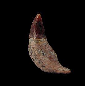 Rare California Prosqualodon tooth for sale   Buried Treasure Fossils