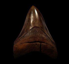 Red Virginia Otodus auriculatus tooth for sale | Buried Treasure Fossils