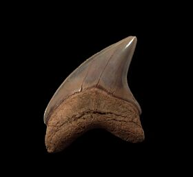 Rare Cretolamna twiggensis tooth for sale | Buried Treasure Fossils