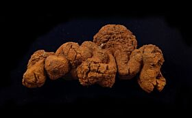 Coprolite (Fossil dung)