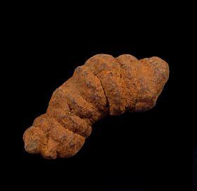Real Coprolite for sale - Reptile : Buried Treasure Fossils
