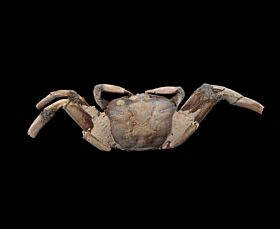 Rare Australian Fossil Crab for sale | Buried Treasure Foss
