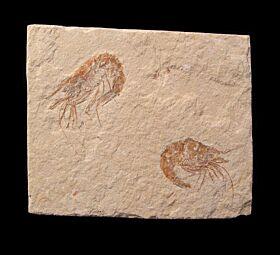 Carpopenaeus longirostris
