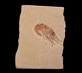 Carpopenaeus fossil shrimp for sale | Buried Treasure Fossils