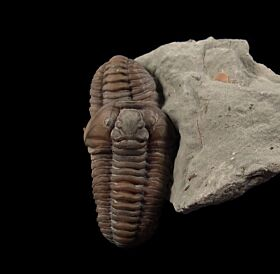 Quality US Trilobites for sale | Buried Treasure Fossils