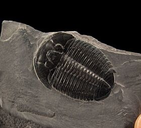 Extra large Elrathia trilobite fossils for sale | Buried Treasure Fossils