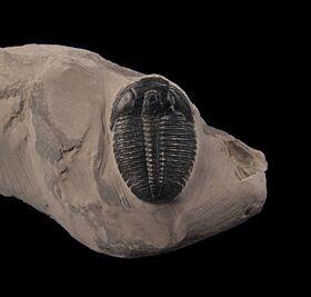 Top Quality Elrathia kingi trilobite for sale | Buried Treasure Fossils