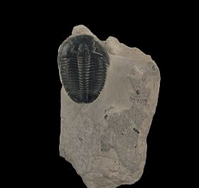 Elrathia kingi trilobite for sale | Buried Treasure Fossils