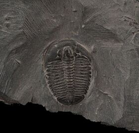 Top Quality Elrathia kingi trilobite for sale | Buried Treasure Fossils